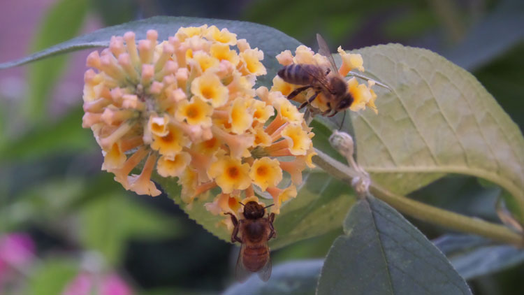 High summer with two very busy bees at work on the yellow Buddleia